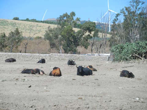 Visit Livestock of Brave Bulls